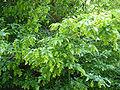 Carpinus orientalis foliage Bulgaria 1.jpg