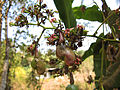 Cashew Nut Unripened.jpg