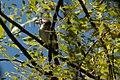Cassin's Vireo Huachuca Canyon Sierra Vista AZ 2018-09-09 11-43-31 (43861544670).jpg