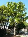 Castanospermum australe, habitus, Groenkloof.jpg