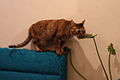 Cat chewing on a leaf from a potted plant.jpg