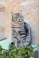 Cat in Ortygia (39065399664).jpg