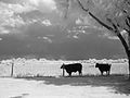 Cattle Near Ft Reno, OK (4244775555).jpg