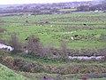 Cattle grazing the flood plain of the R. Piddle, Wareham - geograph.org.uk - 268274.jpg