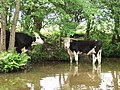 Cattle in the Llangollen Canal - geograph.org.uk - 586116.jpg