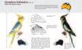 Caturra (Nymphicus hollandicus) estudo sobre o dimorfismo sexual - Inês Garcia.jpg