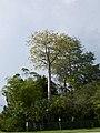 Cavanillesia platanifolia fruit flamingo gardens — Barry Stock 006.jpg