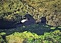 Cepphus grylle. Black Guillemots nesting in Cave (38294053914).jpg