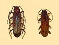 Cerambycidae - Cotyachryson philippii.JPG