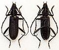 Cerambyx scopolii (10806319413).jpg
