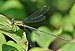 Chalcolestes viridis qtl4.jpg