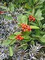 Chamaemespilus alpinus (9393819230).jpg