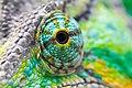 Chameleon's eye.jpg