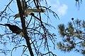Channel-billed Cuckoo (Scythrops novaehollandiae) juvenile being fed, 01.jpg