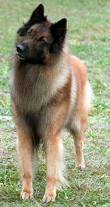 Belgian Tervuren Popular Dogs Breeds