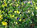 Chasmasahi flowers.jpg