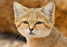 Chat des sables (Felis margarita).JPG