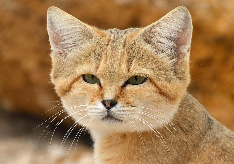 Chat des sables (Felis margarita).JPG