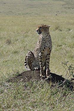 Cheetah genetic diversity.jpg
