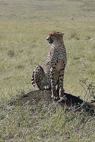 Genetic diversity - A Tanzanian cheetah.