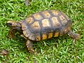 Chelonoidis denticulata Peru 03.jpg