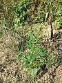 Chenopodium hybridum sl12.jpg