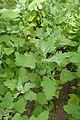 Chenopodium quinoa kz01.jpg