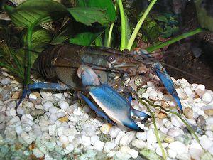 Crayfish - Parastacidae: Cherax pulcher.