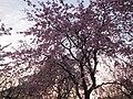 Cherry Blossoms of Sakuragawa, Yamazakura.jpg