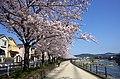Cherry trees along Inagawa river(41084163092).jpg