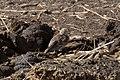 Chestnut-collared Longspur (female) Davis Pasture Sonoita AZ 2018-02-09 11-56-45 (40176749101).jpg