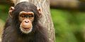 Chimpanzee IX (13945312522).jpg