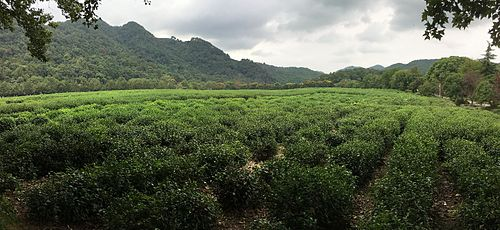 Tea Plantation At The China National Tea Museum