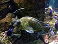 China rockfish 2.jpg