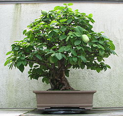 Chinese Quince, 1875-2007.jpg