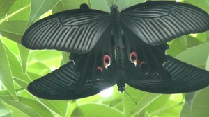File:Chinese peacock (Papilio bianor).webm