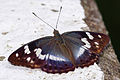 Chitoria chrysolora female back 20140628.jpg