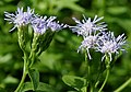 Chromolaena odorata (Common floss flower) W2 IMG 1450.jpg