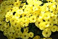 Chrysanthemum Showmakers Multiflora Gold Crest Yellow 1zz.jpg
