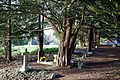 Church of St Mary Theydon Bois Essex England - churchyard yew avenue.jpg