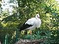 Cigogne blanche (Ciconia ciconia) (04).jpg