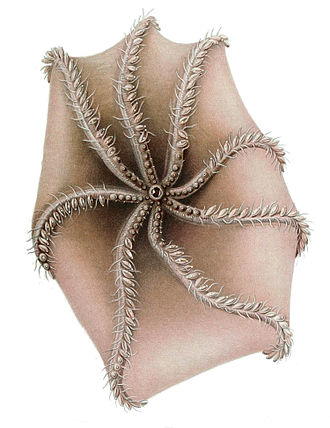 Cirrina - Oral view of Cirrothauma murrayi showing single row of suckers and paired cirri