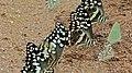 Citrus Swallowtail (Papilio demodocus) (6025326145).jpg