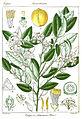 Citrus limonum Rungiah.jpg