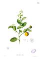 Citrus madurensis Blanco1.185.png