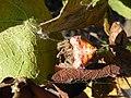 Cladomelea debeeri Bolas spider resting.jpg