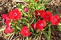 Clavel de china (Dianthus chinensis) (15128762536).jpg