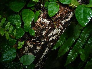 <i>Clavulicium</i> genus of fungi
