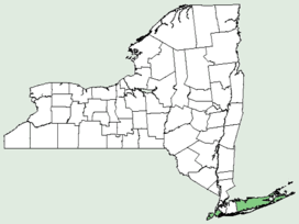 Clematis ochroleuca NY-dist-map.png