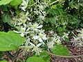Clematis virginiana SCA-03932.jpg